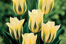 flower.  Spring Tulips