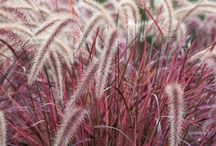 Ornamental Grasses / All things about selecting, planting and maintaining ornamental grasses and grass like plants