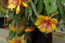 Cactos flores , suculentas