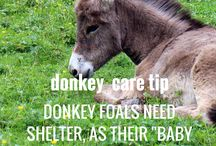 Donkey Care Tips / Donkeys are awesome equines - but aren't the same as horses/ponies, and need special care to meet their unique needs