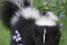 Animals: Skunks / Photo galleries dedicated to skunks.