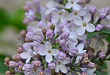 A Wood of Lilac