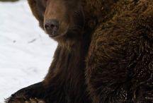 Grizzli