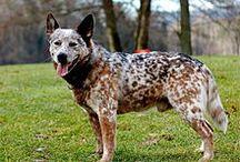 Herding Group (AKC) / n der Herding Group werden Schäfer- und Hirtenhunde geführt, die ursprünglich als Hütehunde und Treibhunde gezüchtet wurden.