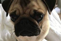 Sir Winston The Pug