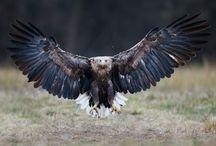 Orły(eagle)