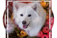 My American Eskimo Dog (Eskie) / American Eskimo Dogs are long-haired, white dogs - we have one named Sascha.
