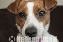 Jackrussel I Love You