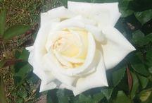 Roses et autres fleurs