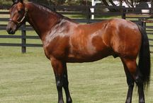 Standardbred / country of origin - USA | average height 152-162 cm | colours - black, bay/brown, chestnut, grey, rarely tobiano pattern, roan pattern | uses - trotter and pacer harness racing, driving, general riding
