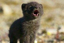 Wolfish Foxish