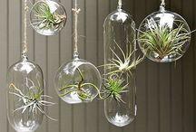 Air Plants-Hava Bitkileri