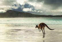 Wallabies & Kangaroos