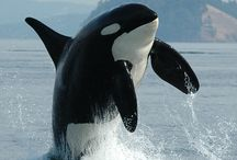 Orca & other cetaceans