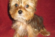 Yorkshire Terriers  / Cutest little dogs / by Fairy Godmother