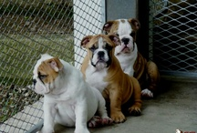 english bulldog......and other cuties.....
