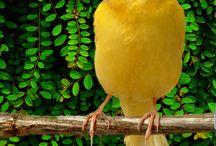 Canarios / Canary birds