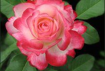 Rosas e orquideas