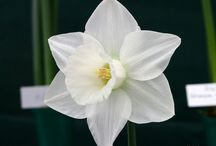 Daffodils / Advice on growing daffodils, dates and details of daffodil shows and competitions, places to see daffodils, daffodil gardens to visit, daffodil events to attend, information about daffodils, advice on growing the best daffodils and buying quality bulbs.