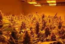 Weed / Alternative health