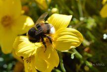 Bijen / Bijen