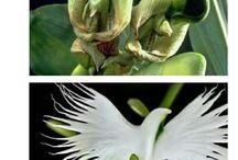 orquídea Espírito santo