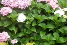 hortenzie / moje zahrada