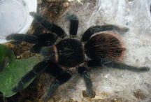 Vogelspinnen / Tarantula