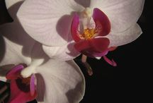 Phalaenopsis Orchids / Enter the wonderful world of growing orchids