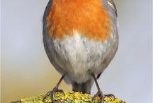 Vögel / Europäische Vögel nur mit deutschen Namen