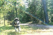 Мой маламут . Alaskan Malamute