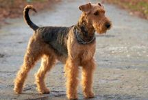 Airedale Terrier / Airedale Terrier dog breed pictures