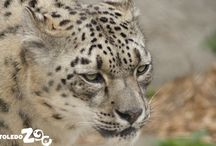 Snow Leopard / See the snow leopards across from Nature's Neighborhood, on the way to Tembo Trail.