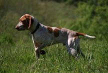 Ariege Pointing Dog / Ariege Pointing Dog breed pictures