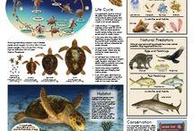 Endangered Marine Turtle Species / Endangered Marine Turtle Species (Loggerhead Turtles)