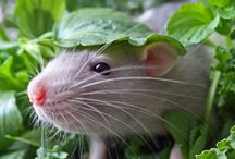 All rodents (incl illustrations) / Special rats, mice and furry friends - extremely clever, underrated, often misunderstood but capable of so much more.