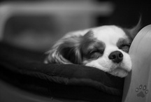 Ruby - our dog / Cavalier King Charles Spaniel
