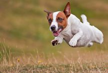 JACK RUSSELL TERRIER / Our dog Our friend Our life