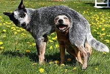 Dobytkárske Psy