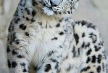 CVCS Snow Leopards / by Taira Rink