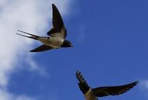 Χελιδόνια-Swallows