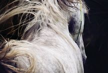 Grey arabians of April Visel