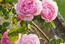 Rose / My Roses