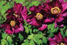 Peonia arbustiva Shima Daijin