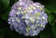Flores de Las ANGUCHAS, Cali, Colombia