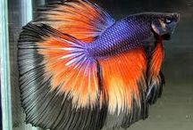 Betta fish / Cute and colourful