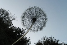 DANDY / The lowly dandelion...usually thought of as a disgusting weed...only fit for eradication.  But, take another look...beauty hides in strange places. / by Tonja Owens