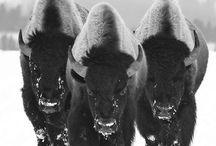 Buffalo / by Terry Schartz
