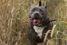 American staffy dogs,P.B'S