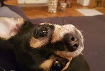 Bosco és Cuki  Chihuahua pár  <3 / 5 hónapos kislány és 3 éves csivi fiú